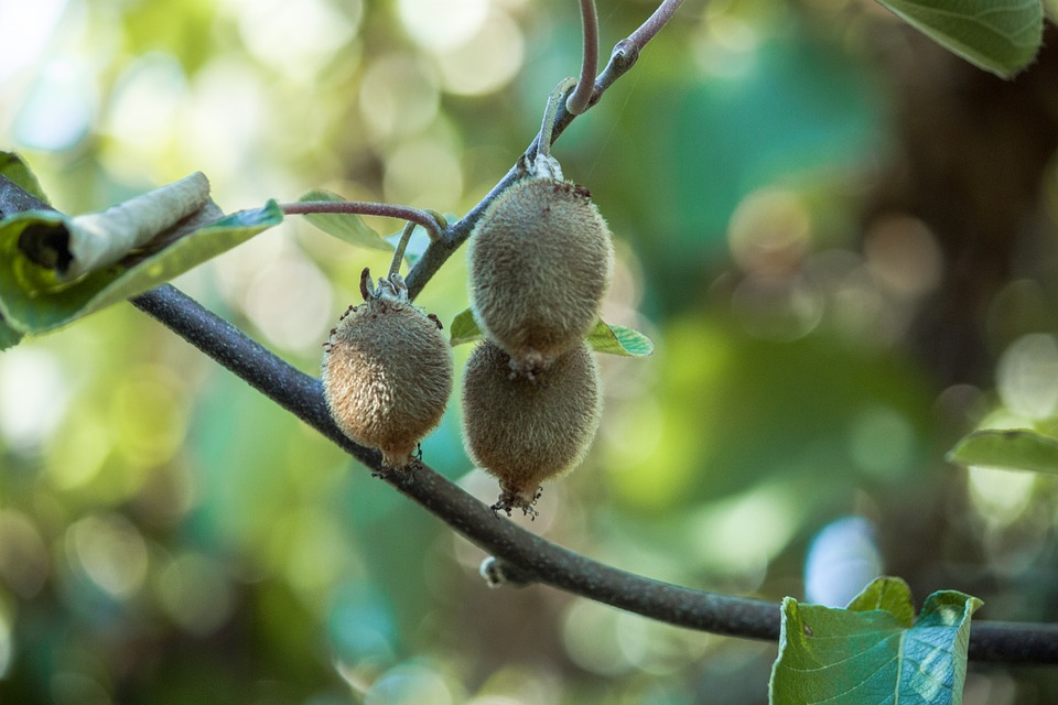 How To Grow A Kiwi Plant From Seed Organic Vegan Earth